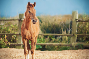 A sorrel little foal stands in a paddock with a wooden fence and sawdust against a summer meadow and blue sky.