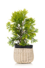 Golden Thuja In A Pot Isolated On White Background