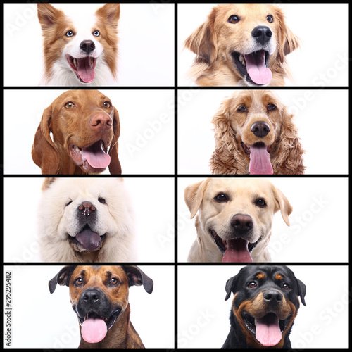 Fototapety, obrazy: Group beautiful house pets in front of a white background