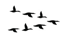 Vector Black Flock Of Flying Duck Silhouette Isolated On White Background