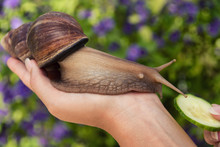Snail Cosmetics. Big African S...