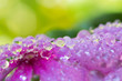 canvas print picture - Macro of water droplets on purple flowers. The picture is soft. Gives beautiful colors.