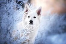 White Shepherd Dog Portrait Outdoors In Winter