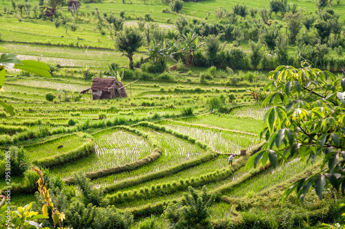 Fototapety, obrazy: Rice fields in the neighbourhood of Tirta Gangga, Bali, Kabupaten Karangasem, IDN