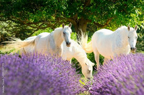 Spoed Foto op Canvas Lavendel Cheval Blanc dans la lavande de Provence