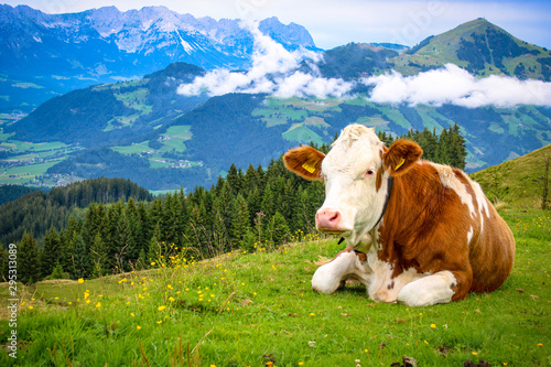 White brown spotted cow lying on a mountain in the Tyrolean Alps on a fresh gree Canvas Print