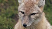 Corsac Fox (Vulpes Corsac) Por...