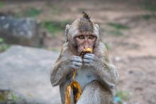 Monkey Portrait At The Ankor W...