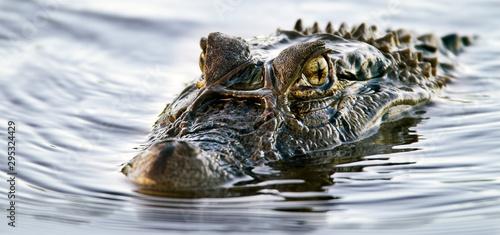Cadres-photo bureau Crocodile Melanosuchus niger - Caiman noir. Marais de Kaw. Guyane