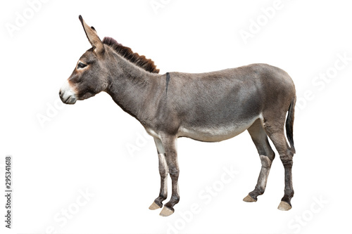donkey isolated on white background Fototapeta