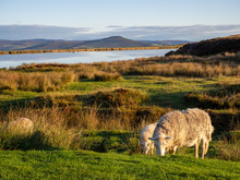 Sheep Grazing On Grass By Keep...