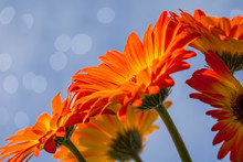 Blooming Orange Gerby Daisies