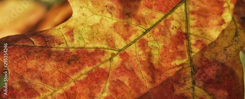 Montage in der Fensternische Rot kubanischen Red leaf in the sunlight. Autumn texture background.