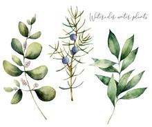 Watercolor Juniper And Eucalyp...