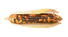 Colourful Decorative Flint Corn Cob With Brown And Orange Niblets