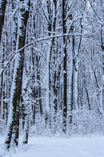 Winter Snow Covered Trees Background