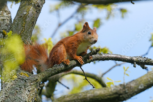 Printed kitchen splashbacks Squirrel Eichhörnchen (Sciurus vulgaris) - Red squirrel
