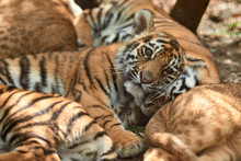 Little Tiger Cubs Outdoors. Ti...
