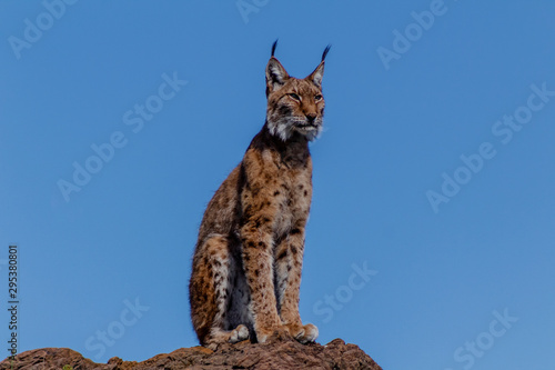Foto op Aluminium Lynx a boreal lynx resting on top of a rock