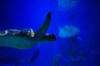 canvas print picture - Nice big turtle in the dark nature fish sea ocean aquarium wild life ecology