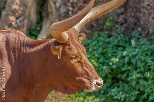 Fotomural a watusi enjoying in its enclosure