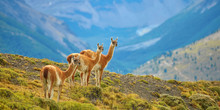 Guanacoes In Torres Del Paine ...