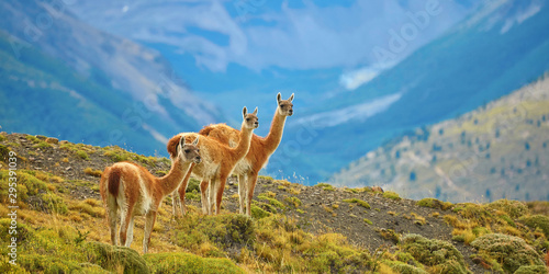 Photo Guanacoes in Torres del Paine national park