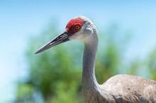 A Portrait Of A Sandhill Crane.