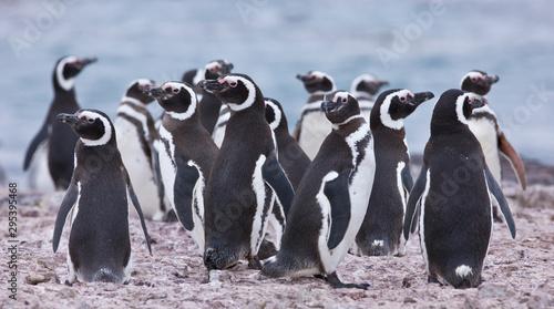 Foto auf Leinwand Pinguin Pingüino de Magallanes (Spheniscus magellanicus), Isla Pingüino, Puerto Deseado, Patagonia, Argentina. Magellanic Penguin