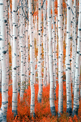 Panel Szklany Natura aspen abstract background in the Utah Mountains, USA.