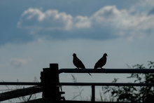 Silhouette Of A Pair Of Mourning Doves In Front Of A Partly Cloudy Sky. Mates For Life.