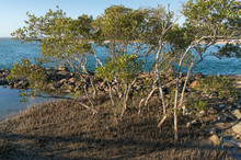 Mangrove Trees With Exposed Ro...