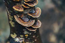 Ringed Fungus Flori