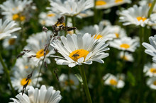 Close Up Of White And Yellow Daisy Flower With Honey Bee Collecting Pollen