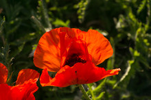 Close Up Of Bright Red Poppy F...