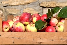 Harvest Of Fresh Red Apples In A Wooden Crate.