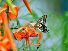 満開のオニユリの花の蜜を吸うアゲハチョウ