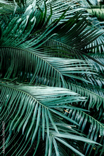 Poster Palmier Vertical shot of dark green palm foliage in the tropical forest. Real photo of palm tree in Thailand. Nature and plant concept. Selective focus