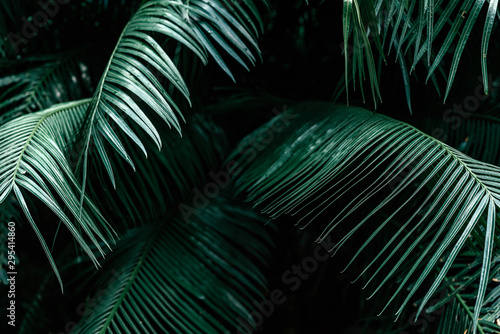 Poster Palmier Close up of dark green palm foliage in the tropical forest. Real photo of palm tree in Thailand. Nature and plant concept. Horizontal shot