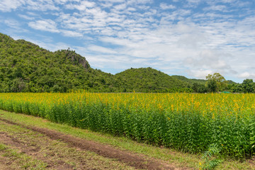 Fototapeta na wymiar Yellow sun hemp or crotalaria juncea or pummelo flower with blue sky and white clouds in the farm.