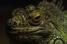 Close Up Bright Green Iguana L...
