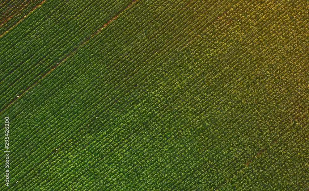 Fototapety, obrazy: Aerial view from drone of peanut farm