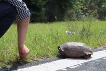 The Turtle Crosses The Road. T...