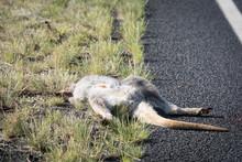 Kangaroo Dead On The Rural Road In Australia.