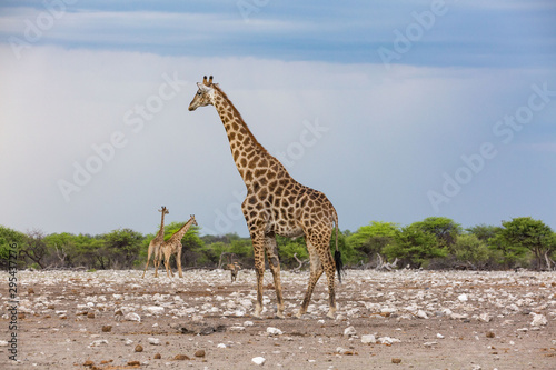 Photo  One giraffe in the foreground and two in the background, Etosha, Namibia, Africa