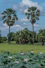 Rice Fields Under Blue Sky In Cambodia