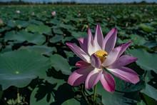 Lotus Flower, Cambodia