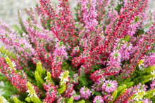 Colorful Heather Bushes View F...