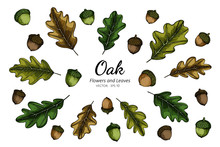 Collection Set Of Oak Nut And ...