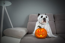 Dog Dressed Up As A Ghost And Halloween Glowing Pumpkin At Home